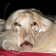 Afghan Hound, Goofy Dog, Sarah Kay, Afghans, Dog Love, Charlotte, Cute Animals, Horses, Rpg