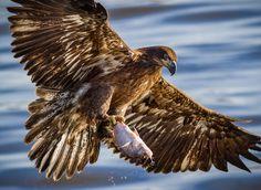 Juvenile Bald Eagle Showing Off