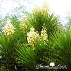 Yucca Elephantipes (Giant Yucca, or Soft Tipped Yucca, or Spineless Yucca)