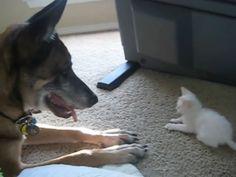 Fofura do dia: Cão militar aposentado se apaixona por gatinha http://r7.com/9Ifw