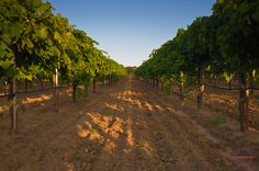 Inside the vineyards