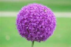 purple allium - Bing Images
