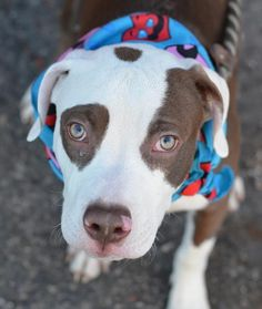 Brooklyn Center JACKS - A1026367 MALE, BROWN / WHITE, PIT BULL MIX, 7 mos OWNER SUR - EVALUATE, NO HOLD Reason NO TIME Intake condition EXAM REQ Intake Date 01/26/2015 https://www.facebook.com/photo.php?fbid=954662511213295