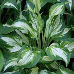 Hosta undulata - I divided one of these and put some in pots, in 2 years they are lush and beautiful!