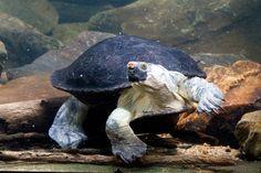 North Australian Snapping Turtle - Elseya dentata