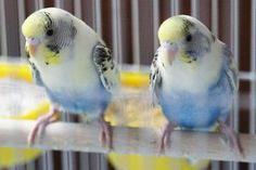 Tetra-colored Harlequin - Talk Budgies Forums