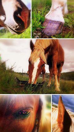 Finnish horse Fjord Horse, Loyal Friends, Beautiful Horses, Finland, Birds, Landscape, Amazing, Animals, Horse