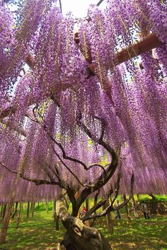 Shower of wisteria at Kawachi Fuji Garden, Kitakyushu, Fukuoka, Japan