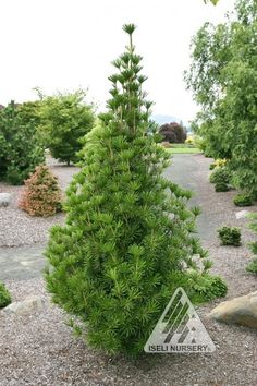 Sciadopitys verticillata Sternshnuppe:  Deer Resistant This cultivar of Umbrella Pine is slow-growing with a pyramidal form. Dark green needles are more broad and thick than the type, giving Sternshnuppe a special look.