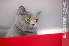STARFALL.LT | Britų Trumpaplaukių kačių veislynas | https://starfall.lt/ |