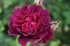 William Shakespeare 2000 - English Rose