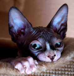 20 Most Affectionate Cat Breeds in The World Sphynx - Affectionate Cat Breeds I Love Cats, Crazy Cats, Cool Cats, Beautiful Cats, Animals Beautiful, Cute Animals, Kittens Cutest, Cats And Kittens, Big Cats