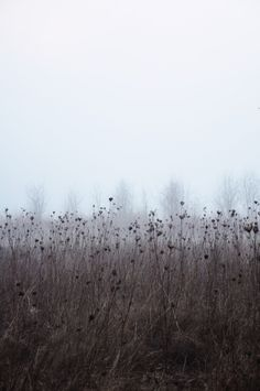 Dried flowers in fog, Tualatin River Wildlife Refuge