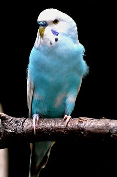 blue and white parakeets | Recent Photos The Commons Getty Collection Galleries World Map App ...