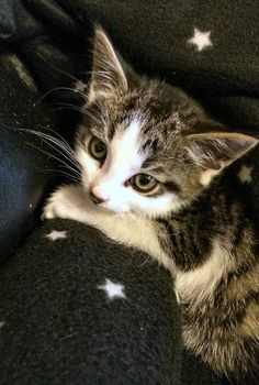 Toby is an adoptable Tabby - white searching for a forever family near Clifton, NJ. Use Petfinder to find adoptable pets in your area.