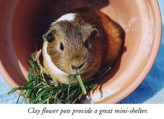 guinea pig care and gifts | CavyMadness