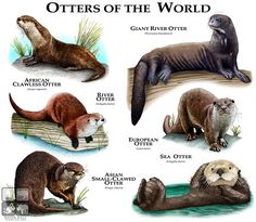 Otters of the World | Artist: Roger D. Hall (2014) Some species of otters (Carnivora - Mustelidae).