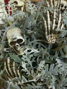 Halloween planter with dusty miller because it looks like bony rib cages and skulls/hands, spider webbing, etc.