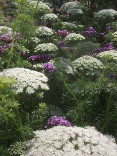 WHITE AND PURPLE;  Ammi visnaga being delicately interspersed with Verbena bonariensis.