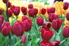 Tulip Bulbs (Single Early) - Couleur Cardinal - Bag of 10