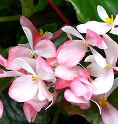 Plant Guide - Plants - Grasses - Begonia 'Tea Rose'