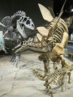 Jurassic dinosaurs from the Denver Museum of Nature and Science: Allosaurus attacking a Stegosaurus.