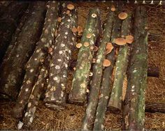 So doing this this year! You can make your own mushroom farm by inoculating logs with mushroom spawn!