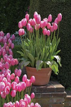 Pink tulips in a pot. More