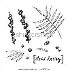 A Boca de Rio Cocktail: Botanical drawing of Acai