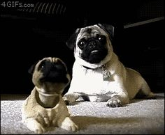25 Cute GIFs of Dogs That Are So Lovey-Dovey You'll Weep - This pug is SUPER excited about the mini, bobbly-head version of himself!