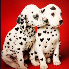 ♥ Valentine's Day love ♥ I love Dalmations, we had one years ago he was so loving! Still miss him!