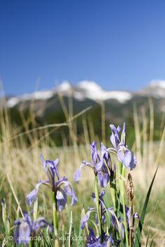 Rocky Mountain Wildflowers - several beautiful photos!