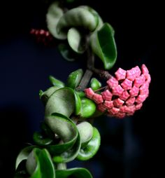 hindu rope plant flowering-  I really want one. I heard the blossoms smell like chocolate.