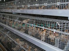 Broiler cage can realize automatic broiler broilers. Chicken Bird, Chicken Cages, Livestock, Welding, Dip, Strength, Surface, Technology, Steel