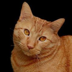 Katze, Katzen, Orange, Niedlich, Nette Katze, Häuslich