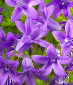 Clustered Bellflower  Dane's Blood Purple Pixie  Scientific Name Campanula glomerata  Plant Type Perennial  Blooming Spring to Fall