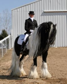 one day i will have my own gypsy vanner <3