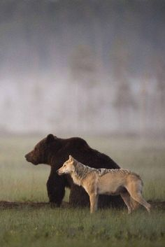 Photographer Lassi Rautiainen recently captured the profound partnership between a she-wolf and a brown bear in the wilds of northern Finland.
