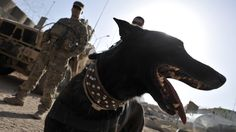 Zzarr, a Dutch shepherd, with K-9 handler U.S. Army Sgt. Nathan Arriaga (partly hidden), in 2011. - Advocates Say Military Dogs Aren't Pets — They're Veterans - http://www.npr.org