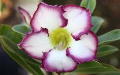 Conheça a exótica rosa-do-deserto - Jardinagem - iG