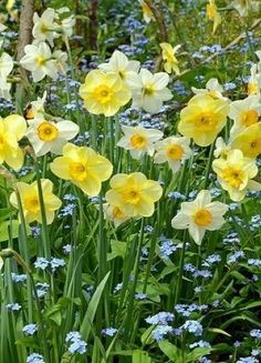 seasonalwonderment:  In the Spring Garden ~ Daffodils and Forget-Me-Nots