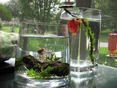 Large vases with simple decorations or live plants for Bettas. Just make sure they aren't too small.