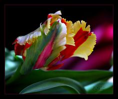 Colors of a Parrot Tulip | Flickr - Photo Sharing!