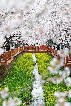 Cherry tree in full bloom, Korea