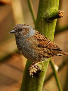 The dunnock (Prunella modularis) is a small passerine, or perching bird, found throughout temperate Europe and into Asia. It is by far the most widespread member of the accentor family, which otherwise consists of mountain species. Small Birds, Little Birds, Colorful Birds, Love Birds, Beautiful Birds, Pet Birds, British Garden, British Wildlife, Nature