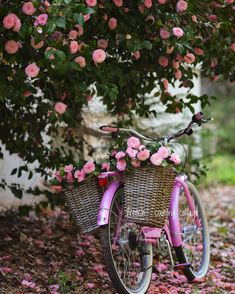A beach bike nestled under bloom covered branches perched on a petal covered ground? It's kind of perfect. And inspiring. And another…