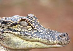 Juvenile Alligator | A juvenile American Alligator (Alligato… | Flickr