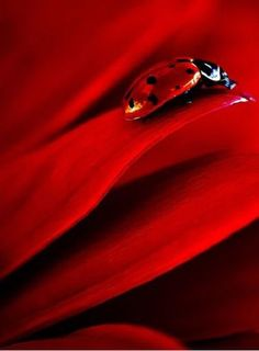 Red little lady bug. Red Flowers, Red Roses, I See Red, Fotografia Macro, Simply Red, Red Aesthetic, Color Of Life, Shades Of Red, Ruby Red