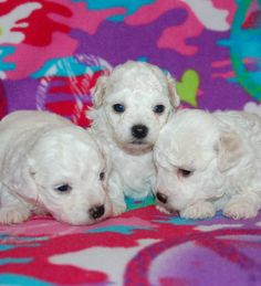 We have precious Bolognese puppies for sale at Beautiful Bolognese!