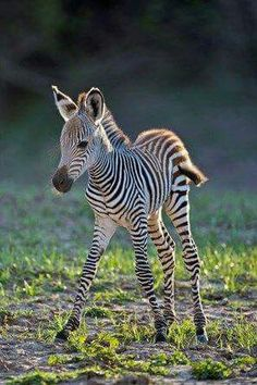 #wildlife ...the young are so vulnerable... #wildlife #zebra